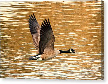 Over Golden Waters Canvas Print by Mike Dawson