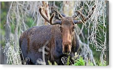 Canvas Print featuring the photograph Overlooking Moose by Scott Mahon