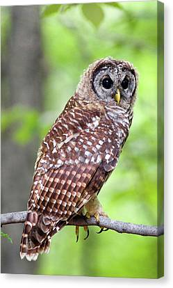 Owl On The Prowl Canvas Print by Timothy McIntyre