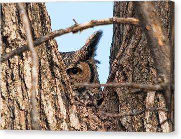 Owl Peek Canvas Print by Steve Stuller