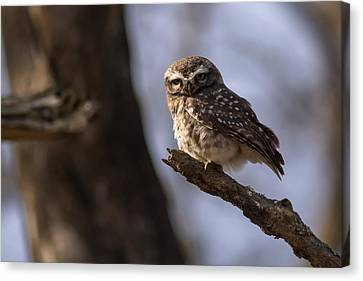 Owly - Spotted Owl Canvas Print