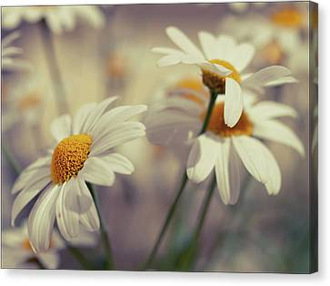 Oxeye Daisy Flowers Canvas Print by Haakon Nygård
