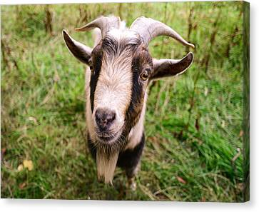 Oxford Goat Canvas Print by Alex Blondeau