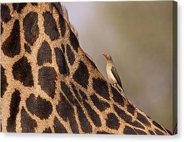 Oxpecker On Giraffe Back Canvas Print by Johan Elzenga