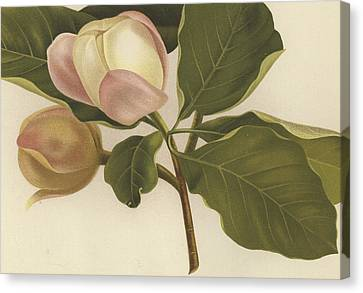 Close Up Floral Canvas Print - Oyama Magnolia by English School