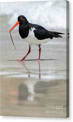 Oystercatcher 03 Canvas Print