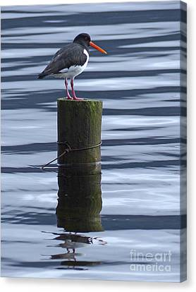 Oystercatcher Canvas Print by Phil Banks