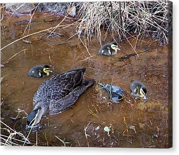 Canvas Print featuring the photograph Pacific Black Duck Family by Miroslava Jurcik