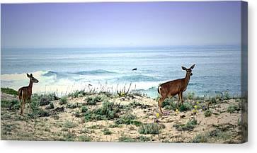 Pacific Grove Deer 03 15 17 Canvas Print by Joyce Dickens