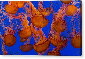 Monteray Bay Canvas Print - Pacific Sea Nettle Cluster 1 by Scott Campbell