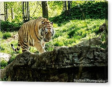 Pittsburgh Zoo Canvas Print - Pacing by Megan Miller