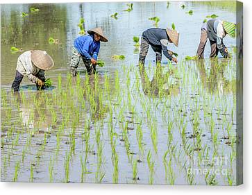Paddy Field 1 Canvas Print by Werner Padarin
