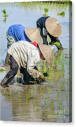 Paddy Field 2 Canvas Print by Werner Padarin