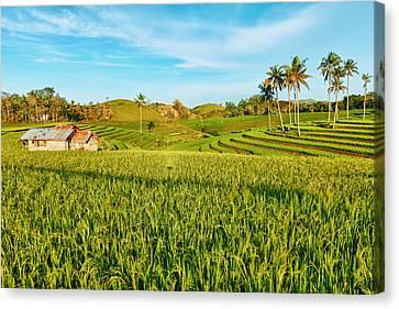 Paddy Rice  Canvas Print by MotHaiBaPhoto Prints