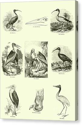 Heron Canvas Print - Page From The Pictorial Museum Of Animated Nature  by English School
