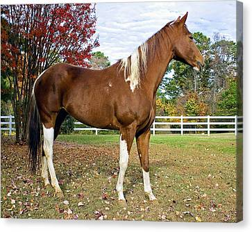 Canvas Print featuring the photograph Paint Horse by Alan Raasch