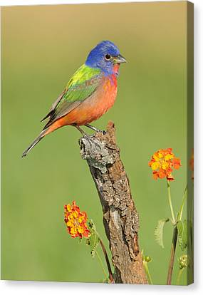 Painted Bunting Canvas Print by Scott  Linstead