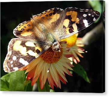 Painted Lady - Pit Stop 1 Canvas Print by Esther Brueggemeier