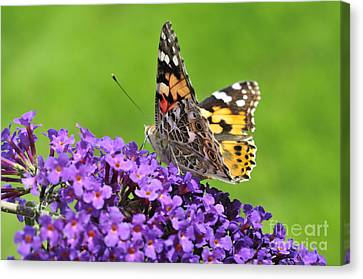 Painted Lady Butterfly On A Buddleia Canvas Print by Andy Smy