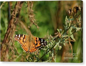 Canvas Print - Painted Lady by Natural Focal Point Photography