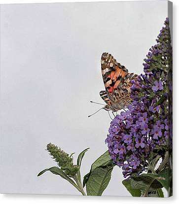 Painted Lady (vanessa Cardui) Canvas Print by John Edwards