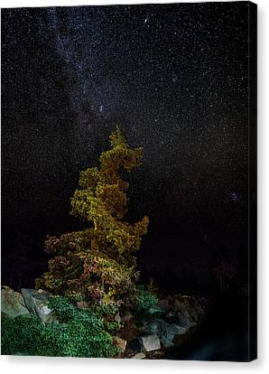 Painted Pine Canvas Print by Brent L Ander