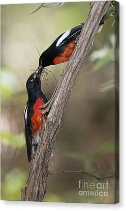 American Redstarts Canvas Print - Painted Redstarts With Prey by Anthony Mercieca