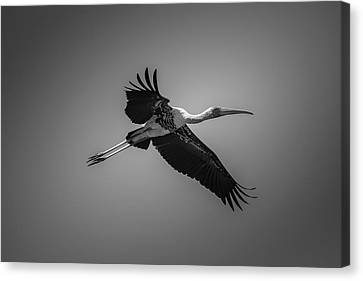 Painted Stork In Flight - Bw Canvas Print
