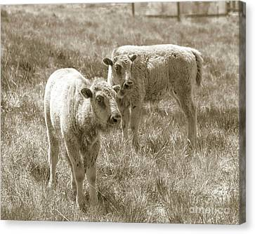 Canvas Print featuring the photograph Pair Of Baby Buffalos by Rebecca Margraf