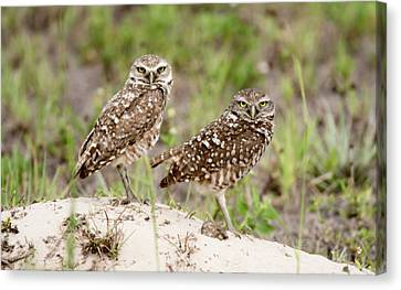 Pair Of Burrowing Owls Canvas Print