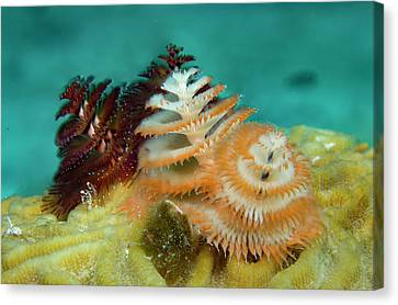 Canvas Print featuring the photograph Pair Of Christmas Tree Worms by Jean Noren