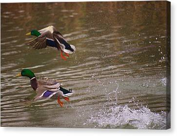 Pair Of Ducks Canvas Print