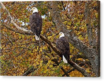 Pair Of Eagles In Autumn Canvas Print by Larry Ricker