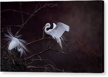 Pair Of Egrets Canvas Print by Kelly Marquardt