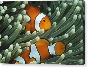 Pair Of False Clown Fish, Amphiprion Canvas Print by James Forte