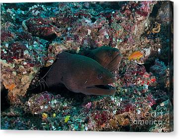 Pair Of Giant Moray Eels In Hole Canvas Print by Mathieu Meur