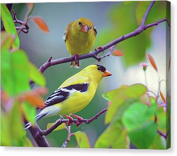 Canvas Print featuring the photograph Pair Of Goldfinches by Rodney Campbell