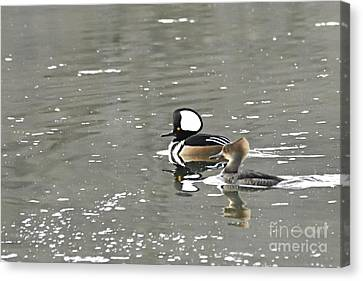 Pair Of Hooded Mergansers Canvas Print
