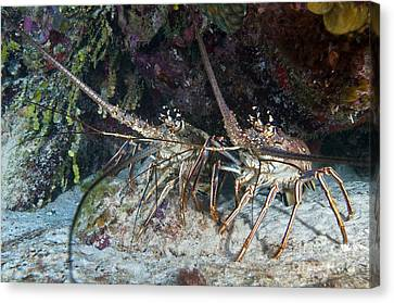 Pair Of Spiny Caribbean Lobsters Canvas Print by Karen Doody