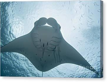 Palau, Manta Ray Canvas Print by Dave Fleetham - Printscapes