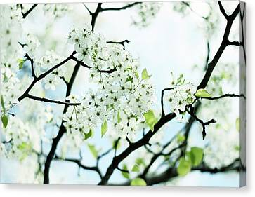Canvas Print featuring the photograph Pale Pear Blossom by Jessica Jenney