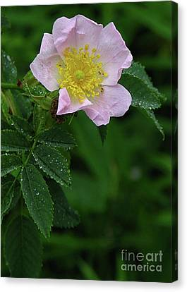 Canvas Print featuring the photograph Pale Pink And Wild by Deborah Johnson