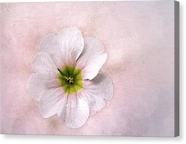 Pale Primrose Canvas Print