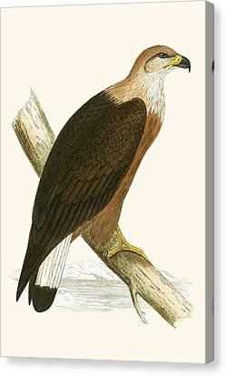 Pallas's Sea Eagle Canvas Print by English School