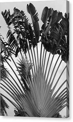 Palm Frons Canvas Print by Rob Hans