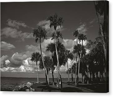 Palm Group In Florida Bw Canvas Print by Susanne Van Hulst