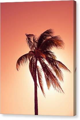 Palm In The Bay Of Pigs, Playa Coco, Cuba Canvas Print by Ralf Martini