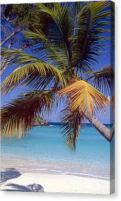 Palm Tree On A Caribbean Beach Canvas Print by George Oze