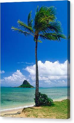 Palm Tree On The Beach Kaneohe Bay Oahu Hawaii Canvas Print by George Oze