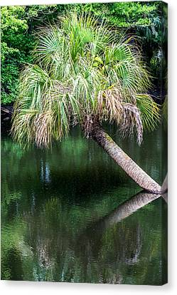 Palm Tree Canvas Print by Paul Freidlund